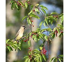 Cedar Wax Wing feeding on Cherries Photographic Print