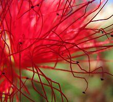 Australian Native Flower by Ella Duncan