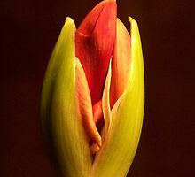 Amaryllis by Tracey Ross