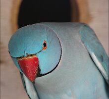 blue ringneck parrot by vampvamp