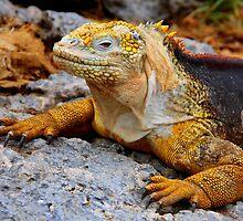 Coloured Iguana (Galapagos) by BGpix