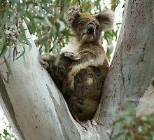 Koalas: Baby and Mum (#2) by fantastisch2003