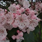 Mountain Laurel (Kalmia latifolia) by vigor