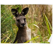 Suprised Kangaroo. Poster
