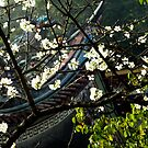 Taiwan, Temple, Sakura by Digby