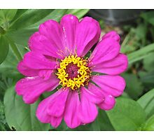 giant Pink Zinnias grow in Mo's garden 4 by Maureen Zaharie