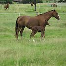 A Mare and her Foal in Rural Kempsey, N.S.W. Australia. by Mywildscapepics