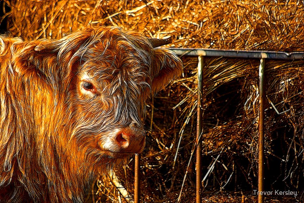 Highland Cow #1 by Trevor Kersley