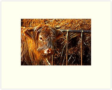Highland Cow #1 by Trevor Kersley