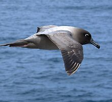 Light Mantled Sooty Albatross by Steve Bulford