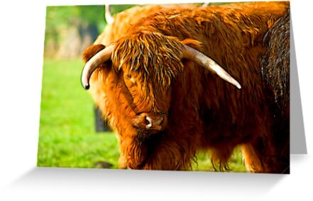 Highland Cattle #3 by Trevor Kersley