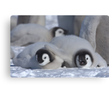 Emperor Penguin Chicks - Snow Hill Island Canvas Print