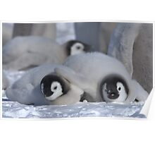 Emperor Penguin Chicks - Snow Hill Island Poster