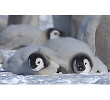 Emperor Penguin Chicks - Snow Hill Island Photographic Print