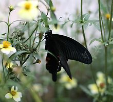 Ginza Butterfly in November  by warai-otoko
