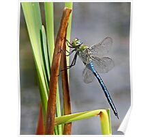 Dragon-Fly at my local pond. Poster