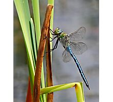 Dragon-Fly at my local pond. Photographic Print