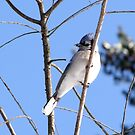 Blue Jay by Lolabud