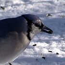 Another Bluejay by Lolabud