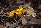 Crocus 2 by Mike Oxley
