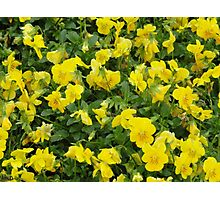 Yellow Pansies Flower Patch Photographic Print