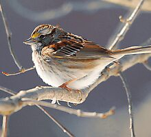 White Throated Sparrow by Michele Conner
