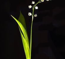 Lily of the Valley by Barbara Wyeth