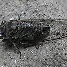 Cicada Bug by Tracy Wazny