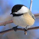 Black-Capped Chickadee Jan 2010 by KatsEye