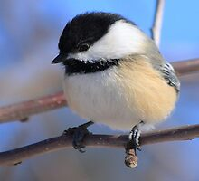 Black-Capped Chickadee Jan 2010 by KatsEye