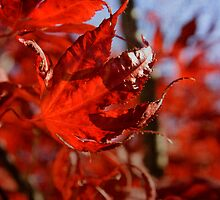 japanese maple by olivepix