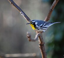 Yellow-throated Warbler - Dendroica dominica by rd Erickson