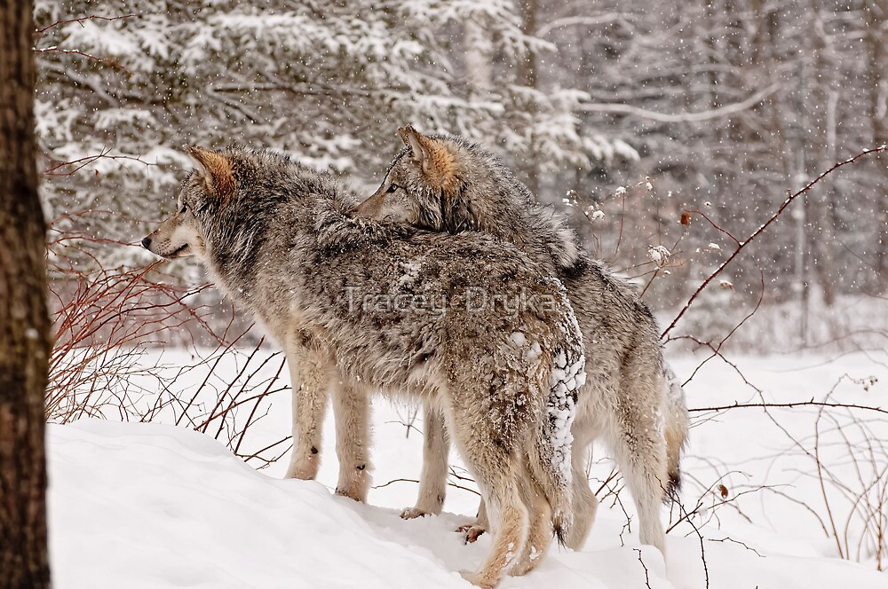Sibling Love - Parc Omega, Montebello, PQ by Tracey  Dryka