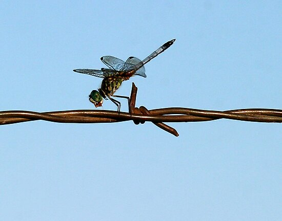 Barbed Wire Dragonfly by Jerry Segraves