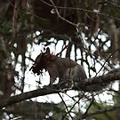 Eastern Grey Squirrel II by D R Moore