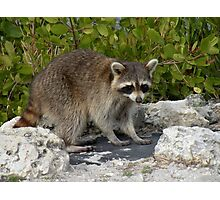 Racoon on the Rocks Photographic Print