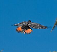 #1 . Series . black cockatoos , jan 2010 by Tempe