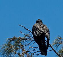 #2 . Series . black cockatoos  by Tempe