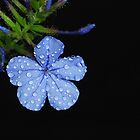 'Plumbago Blue' by Gavin J Hawley