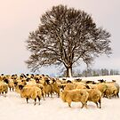 Winter Woolly by Ian Snowdon /     www.downtoearthimages.co.uk