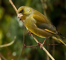 Green Finch by Robert Abraham