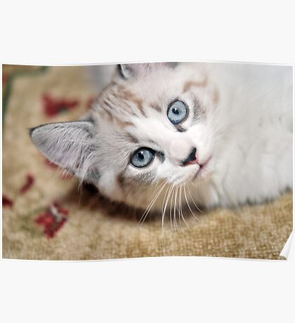Kitty Blue Eyes Poster
