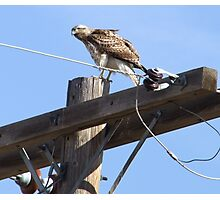 Red-Tailed Hawk giving me the eye Photographic Print
