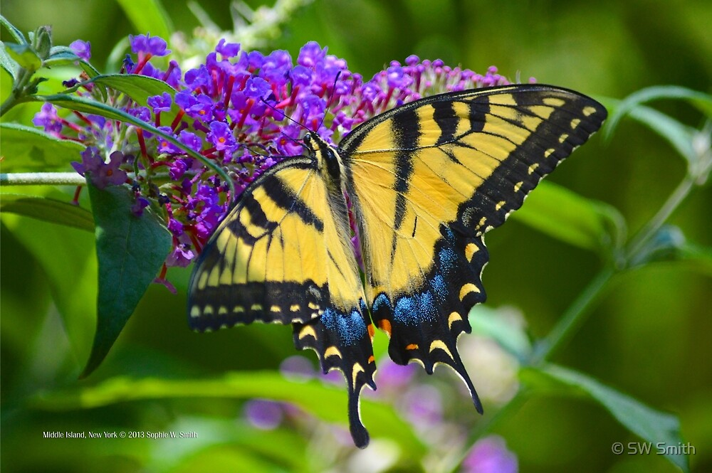 Papilio Glaucus - Eastern Tiger Swallowtail   Middle Island, New York by © Sophie W. Smith