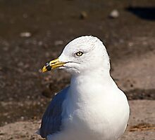 Ring-Billed Gull by Teresa Zieba