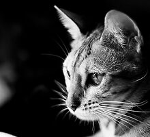 Bengal Kitten Tayla by Silivrenwolf