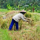 Balinese woman harvesting rice by Michael Brewer