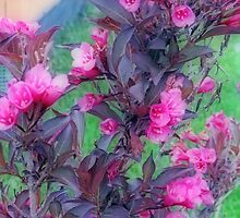 Burgundy Colored Weigela  Bush by kkphoto1