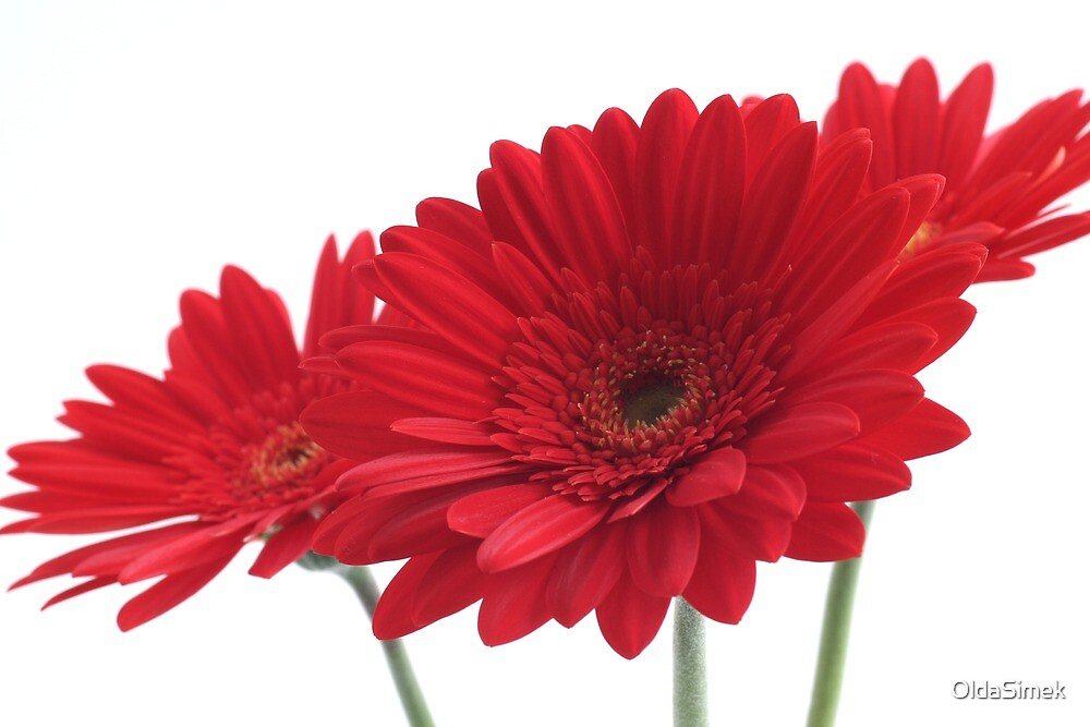 three red gerberas on white background by OldaSimek