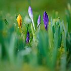 Crocus focus bokeh by David Barrett